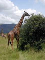 Girafe2h
