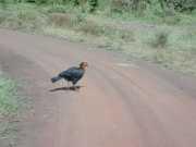 Hornbill1c