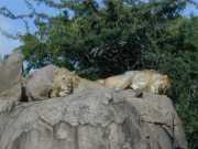Lion2e