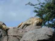Lion2f