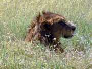 Lion3e